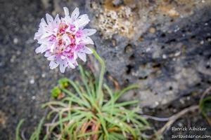fleur-champ-de-lave-IMGP5264